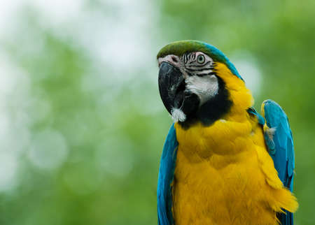parot: close-up of a beautiful blue-and-yellow macaw Stock Photo