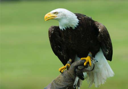 amerikanischen Weißkopfseeadler in das Handschuhfach eines Falkners