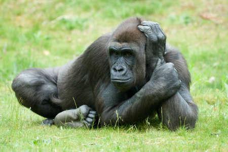 Nahaufnahme eines großen weiblichen Gorillas  Lizenzfreie Bilder