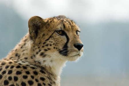 jubatus: close-up of a beautiful cheetah (Acinonyx jubatus)