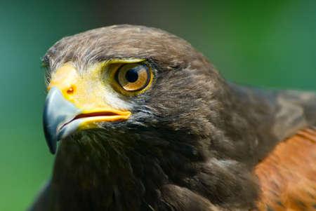 closeup of a Harriss Hawk (Parabuteo unicinctus) photo