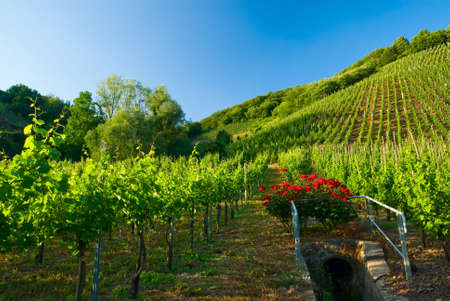vineyards along the mosel river in germany Stock Photo - 3258775