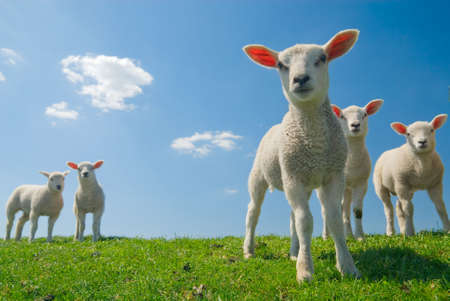 naivety: curious lambs looking at the camera in spring