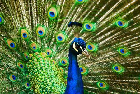 plummage: India hermoso pavo real macho mostrando sus plumas (Pavo cristatus)