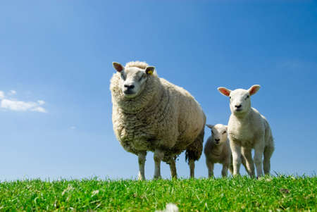 curious lambs and sheep looking at the camera in spring Stock Photo - 3306485