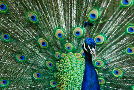 phasianidae: beautiful male indian peacock showing its feathers (Pavo cristatus) Stock Photo