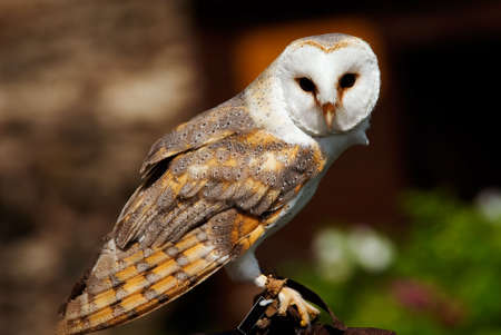 alba: close-up of a beautiful barn owl (Tyto alba)  Stock Photo