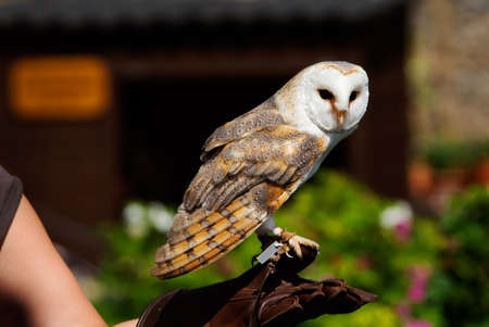 close-up of a beautiful barn owl (Tyto alba) on the glove of a falconer photo