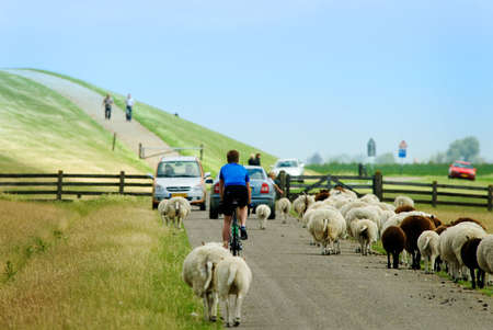 cycling on a road with sheep in the netherlands