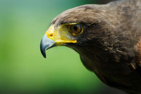 close-up of a steppe eagle (Aquila nipalensis) photo
