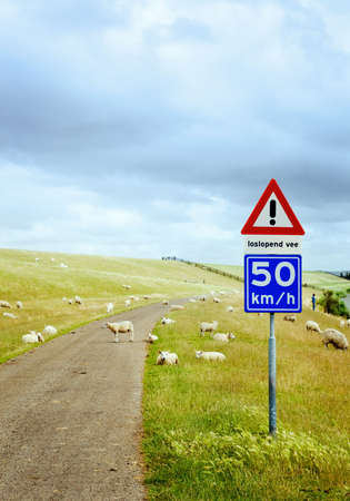 sheep warning: sign that warns you for the sheep on the road in the netherlands