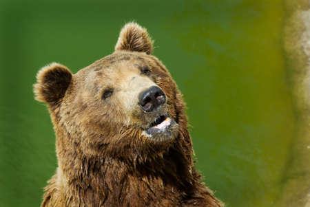 close-up of a big brown bear    photo