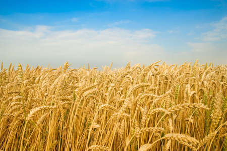 Golden wheat field under a blue sky photo