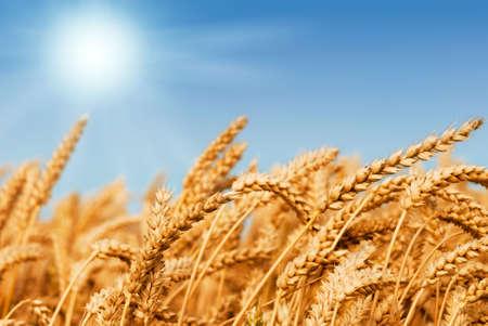 planta de maiz: Golden campo de trigo bajo un cielo azul y el sol