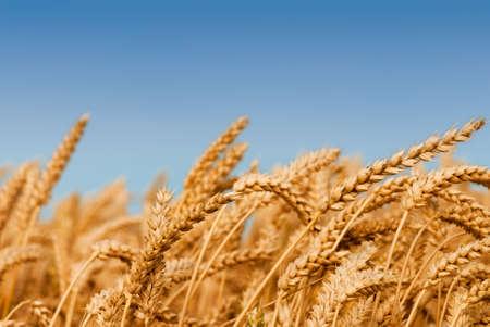Golden Weizenfeld unter blauem Himmel  Standard-Bild - 3375083