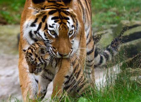 tigress: Siberian tiger (Tiger Panthera tigris altaica)  with a  between her teeth Stock Photo
