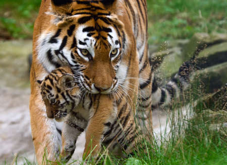 Siberian tiger (Tiger Panthera tigris altaica)  with a  between her teeth Standard-Bild