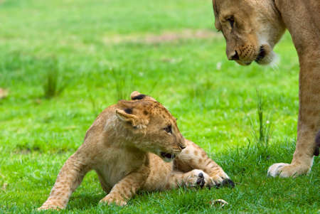 vicious: close-up of a cute lion cub with mother