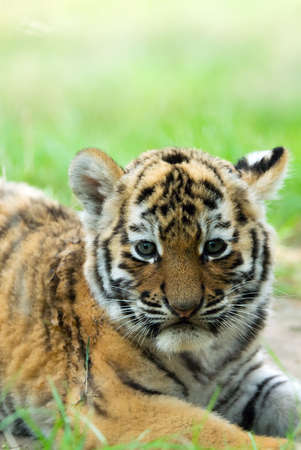 cute siberian tiger cub (Tiger Panthera tigris altaica) Stock Photo - 3382595