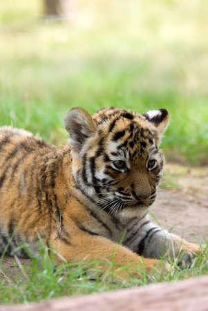 cute siberian tiger cub (Tiger Panthera tigris altaica) Stock Photo - 3382598
