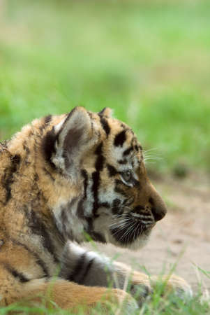 cute siberian tiger cub (Tiger Panthera tigris altaica) Stock Photo - 3382599