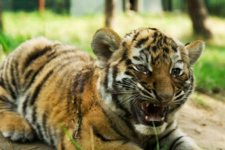 cute siberian tiger cub (Tiger Panthera tigris altaica) Stock Photo - 3382594