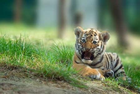 panthera: cute cucciolo di tigre siberiana (Panthera Tiger Tigri altaica)