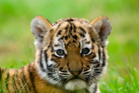 cubs: cute siberian tiger cub (Tiger Panthera tigris altaica)