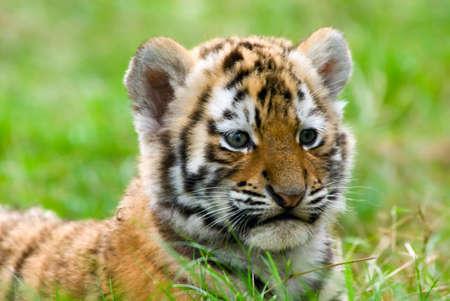 tiger cub: mignon ourson tigre de Sib�rie (Panthera tigris Tiger altaica)