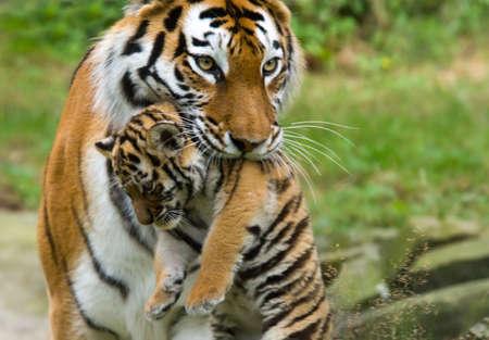 カブ: シベリアの虎 (タイガー パンテーラ チグリス altaica) と、彼女の歯の間