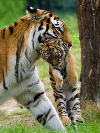 Siberian tiger (Tiger Panthera tigris altaica) with a  between her teeth photo