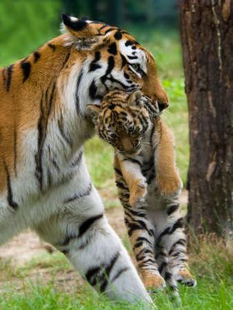 tigresa: Tigre siberiano (Panthera tigris altaica Tigre), con una entre los dientes