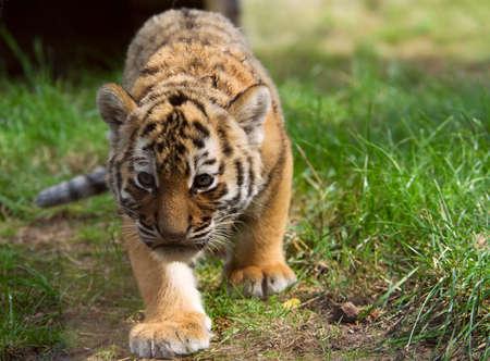 cute siberian tiger cub (Tiger Panthera tigris altaica) photo