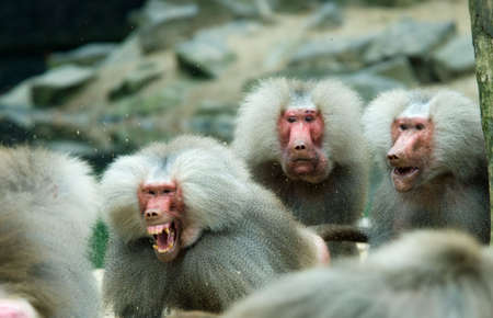 blurr: baboon monkey in a fight with two monkeys looking suprised (Motion Blurr fighting monkey!!) Stock Photo