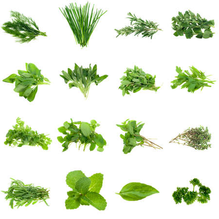 кинза: Collection of fresh herbs, isolated on white. XXL file. Please see individual images in my gallery