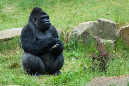 close-up of a big male gorilla photo