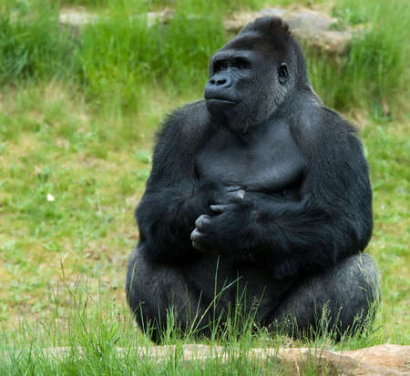 captured: close-up of a big male gorilla Stock Photo
