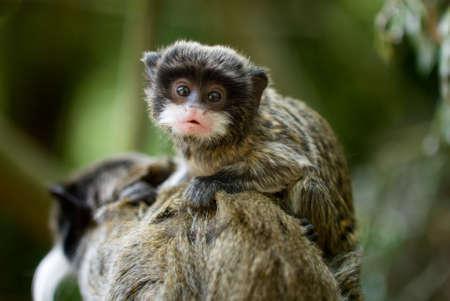 omnivore animal: cute  emperor tamarin (Saguinus imperator)