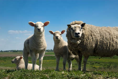 cute sheep  in spring Stock Photo - 3540188