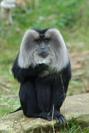 macaque: closeup of a Lion-tailed Macaque (Macaca silenus)