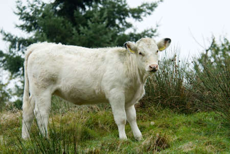cud: beautiful white cow on top of a hill Stock Photo