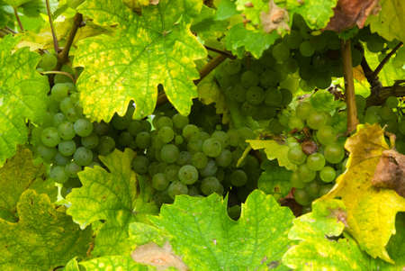 champagne region: close up of a bunch of grapes in autumn ( mosel region germany)