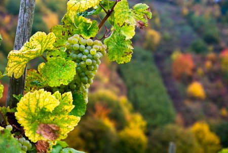 close up of a bunch of grapes in autumn photo