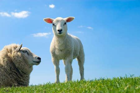 roast lamb: curious lamb looking at the camera in spring Stock Photo
