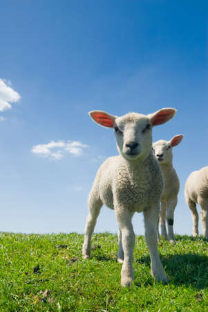 curious lambs looking at the camera in spring