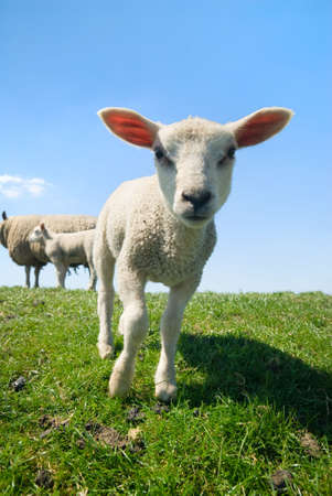 curious lamb looking at the camera in spring Standard-Bild
