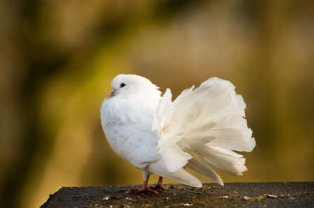 beautiful white pigeon and a brown background photo