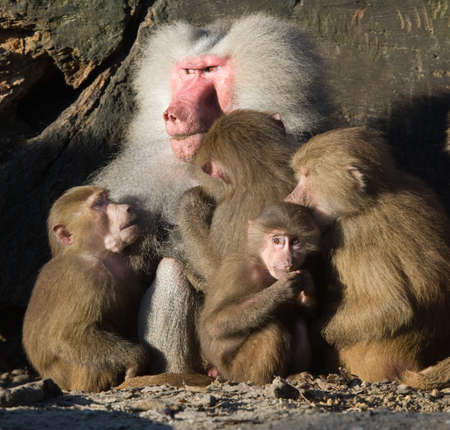a baboon family cuddling together  photo