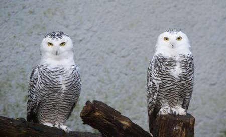 snowy owl: portrait of two beautiful snow owls (Bubo scandiacus)