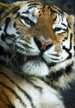 close-up of a tiger looking at the camera Stock Photo - 3969447